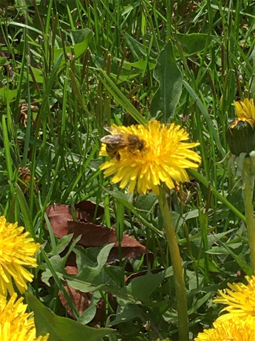 honey bee on a dandelion