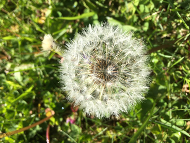 Dandelion puff ready for your wish