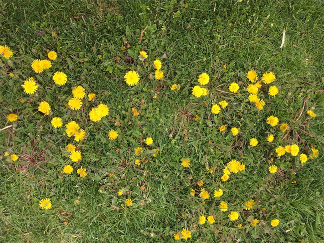dandelions in an open field