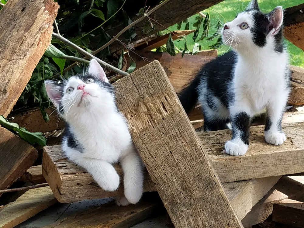 two kittens playing on Sackett Farm in Delaware, Ohio